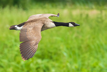 Canadian Goose Branta Canadensis In Flight Migrating