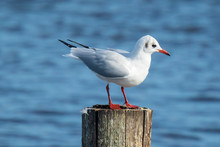 Black-headed Gull, Chroicocephalus Ridibundus Perched On A Pole