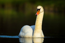 Mute Swan, Cygnus Olor Swimmin...