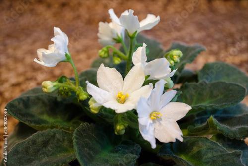 Home white violet. Gesneriaceae. Saintpaulia.