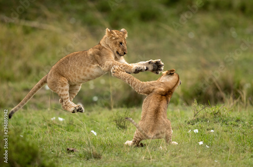 Lion cubs playing in Savannah, Masai Mara, Kenya Tablou Canvas