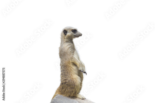 Meerkat with white background Wallpaper Mural