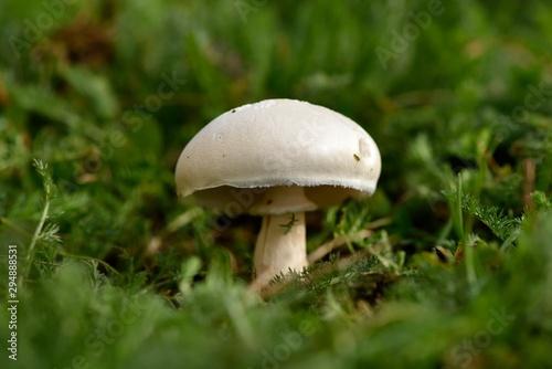Fototapeta Agaric (champignon des prés)
