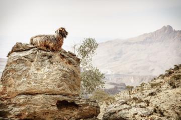 Arabian tahr at Jebel Shams in Oman