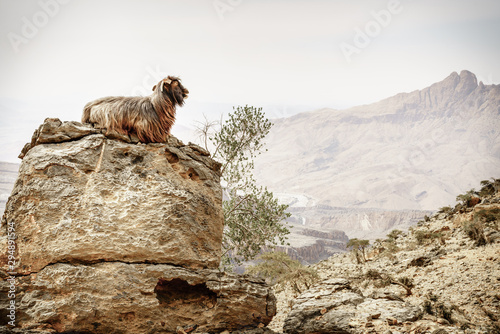Poster Individuel Arabian tahr at Jebel Shams in Oman