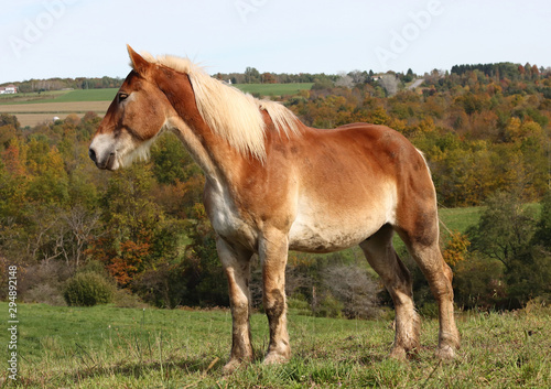 Honey colored Amish working draft horse looking down his pasture
