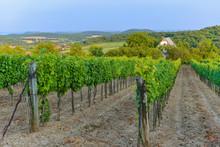 View Of Vineyard, Hungary