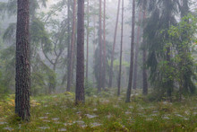 Scots Pine Forest In Fog