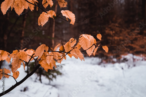 Valokuva  Cold forest in the winter