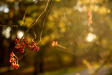 Spider Web On A Bush With Berries