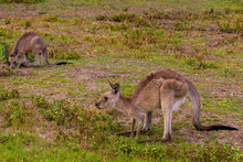 Little Kangaroo Crouched In Coombabah