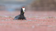 One Red Knobbed Coot Bringing A Small Fish For Chicks At Its Nest
