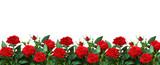 Fototapeta Kwiaty - Red rose flowers in a border