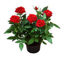 Red Rose Flowers In A Pot