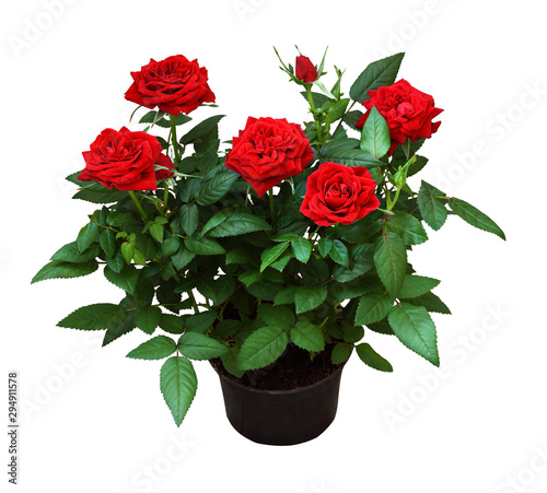 Fotobehang Roses Red rose flowers in a pot