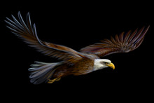 Soaring Bald Eagle. Graphic, Realistic, Color Illustration Of A Bird Of Prey On A Black Background.