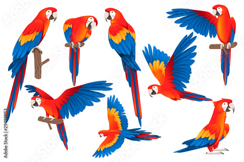 Fototapeta Set of adult parrot of red-and-green macaw Ara (Ara chloropterus) cartoon bird design flat vector illustration isolated on white background obraz