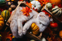A Yellow Baby British Shorthair Kitty With Halloween Pumpkins At Brown Autumn Background