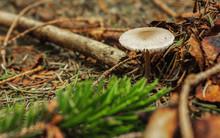 Dapperling Mushroom On Forest Floor With Tree Needles