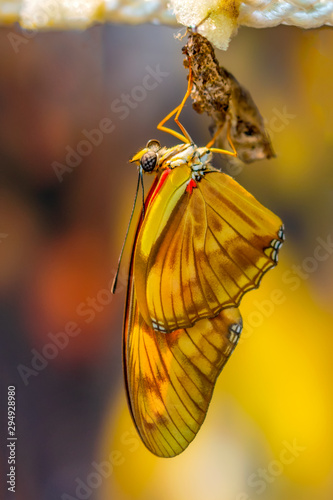 Cadres-photo bureau Papillon Amazing moment ,butterfly emerging from its chrysalis