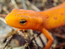 Close Up Portrait Of A Red Eft...