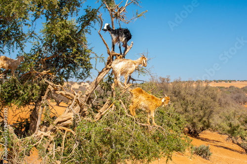 Heard of cloven-hoofed goats climbed on an argan tree (Argania spinosa) on a way Wallpaper Mural
