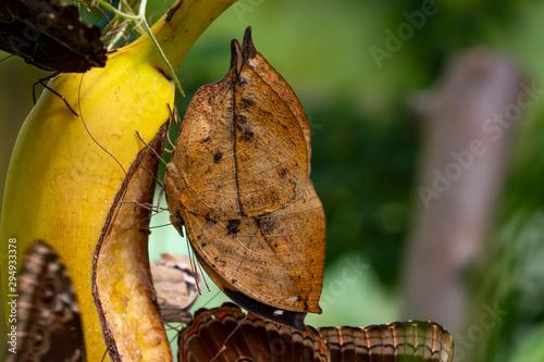 Keuken foto achterwand Vlinder Dead leaf butterfly , Kallima inachus, aka Indian leafwing, standing wings folded on a bamboo branch, dead leaf imitation.