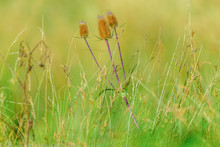 Teasels And Wild Grasses In En...