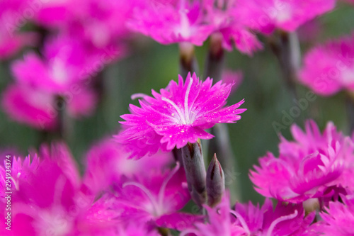 Canvastavla A Beautiful, Bright Pink Dianthus Firewitch Flower Blooming