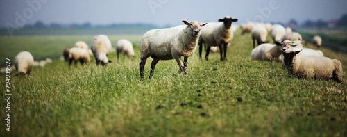 Fotografiet Schafe auf dem Deich
