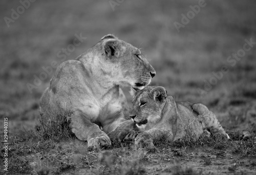 Photo Lioness caress with cub at Masai Mara, Kenya