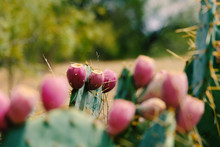 Prickly Pear Cactus In Bloom, ...