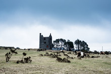 Herd Of Galloway Cattle Grazing Near A Ruined Tin Mine Engine House.