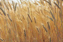 Close Up Of Wheat Field