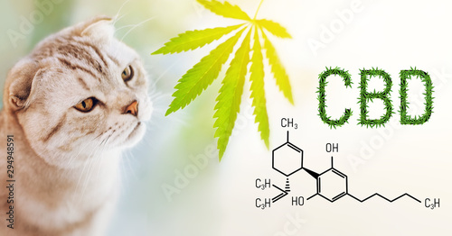 Close up portrait of purebred cat sniffing a cannabis leaf on blurred background with CBD formula Canvas Print