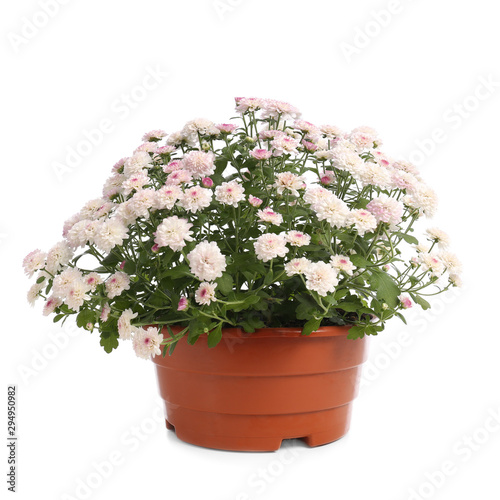 Canvastavla Pot with beautiful chrysanthemum flowers on white background