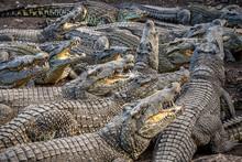 Many Crocodiles At The Farm In...