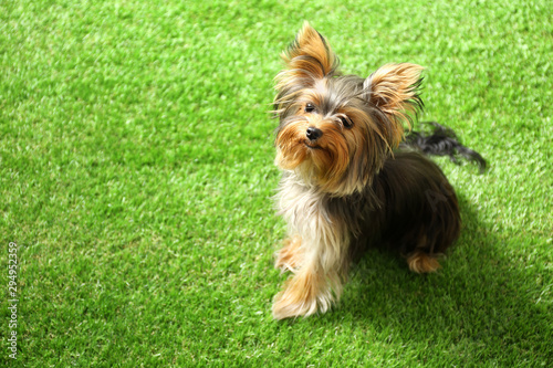 Obraz Adorable Yorkshire terrier on green grass, space for text. Cute dog - fototapety do salonu