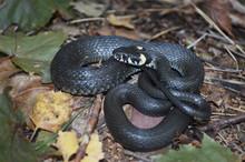 Black Grass Snake In Autumn Forest