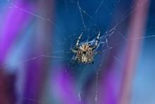 Spider Weaving Its Web On Lavender Bush