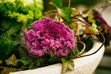Brassica Oleracea Or Acephala In A Decorative Vase With Ivy Closeup. Flowering Decorative Purple Pink Cabbage Plant. Ornamental Kale. Natural Vivid Background