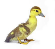 Yellow Duckling Isolated On Wh...
