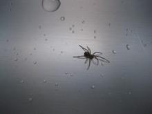 Araña Avanzando Entre Gotas De Agua En Un Fregadero De Acero Inoxidable