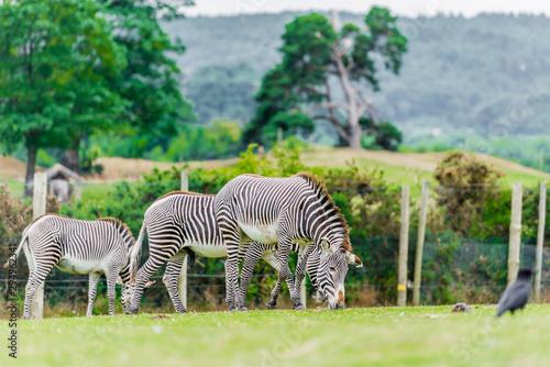 herd of zebras in the safari zoo Wallpaper Mural