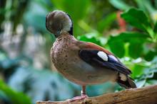 Duck Preening Itself On A Tree...