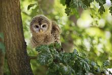 Nestling Of Tawny Owl - Strix ...