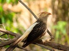 Guira Cuckoo On Tree Branch Photographed In Brazilian Atlantic Rainforest. Bird Of Brazil Fauna