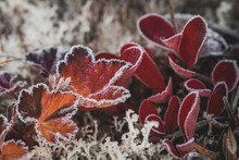 Autumn Colored Leaves Covered With A Thin Layer Of Frost