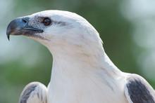 White-bellied Sea Eagle Also K...