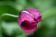 Purple Poppy Seed Flower After...